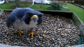 Sad news from the peregrines of Tewkesbury Abbey; the perils of interfering with nature