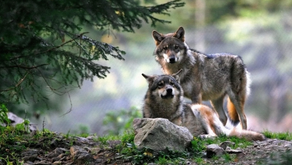 The reintroduction of wolves is no joke