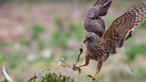 Reports emerging of multiple hen harrier nests failing due to predation across unmanaged uplands
