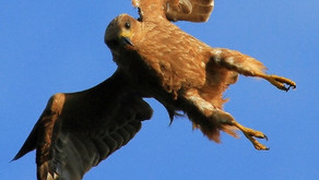 Child hospitalised after red kite attack in Berkshire
