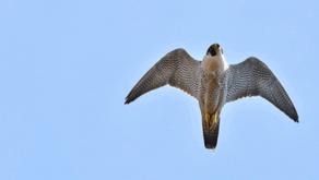 Leading naturalist has renewed hope after multiple raptor sightings across Peak District Moorland