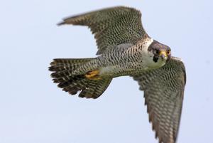 Peregrine Falcon in Whitebread Hollow, Sussex