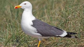 Gulls continue to decimate ground nesting birds, thanks to the infallible threesome at Wild Justice