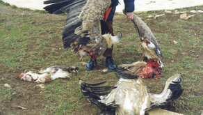 Wind farms killing '20 times more eagles than previously thought', yet RSPB turn blind eye.
