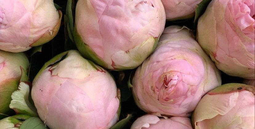 Pivoine double rose pâle (5 tiges)