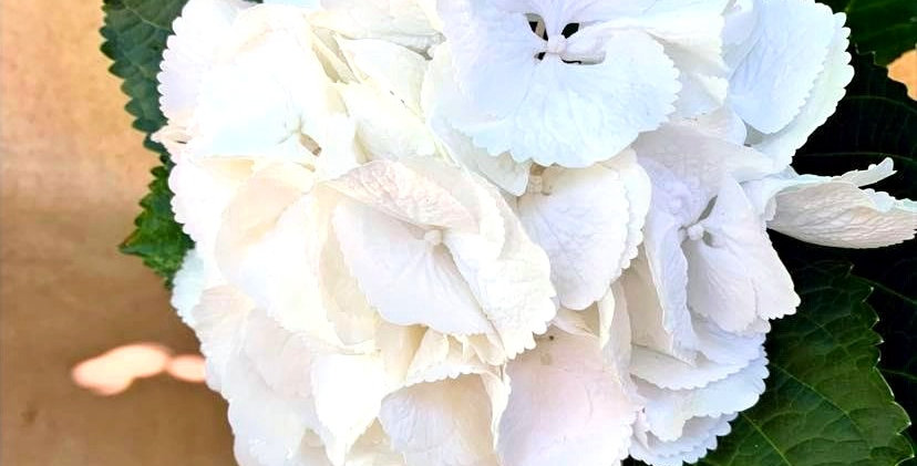 Hortensia - Blanc (par tige)