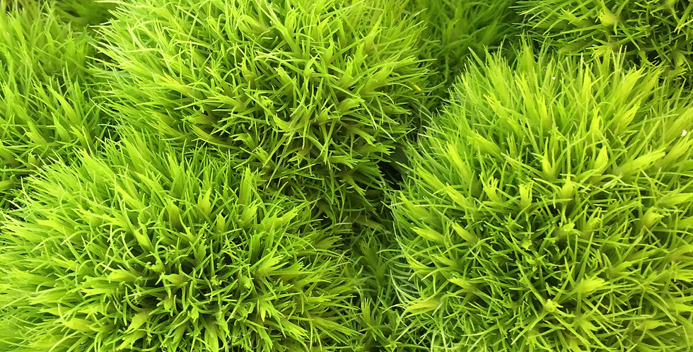 Oeillet - vert (5 tiges)