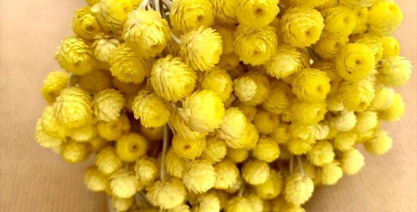 Immortelle - jaune (10 tiges)