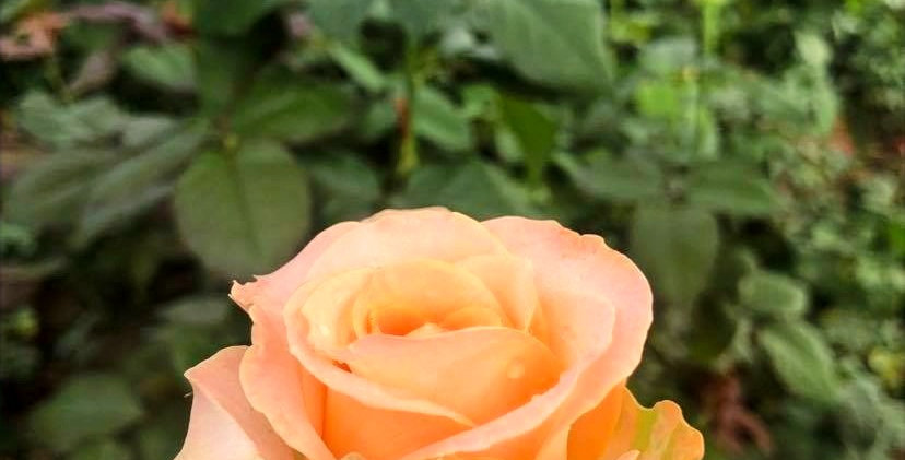 Rose - Invitation (10 tiges)