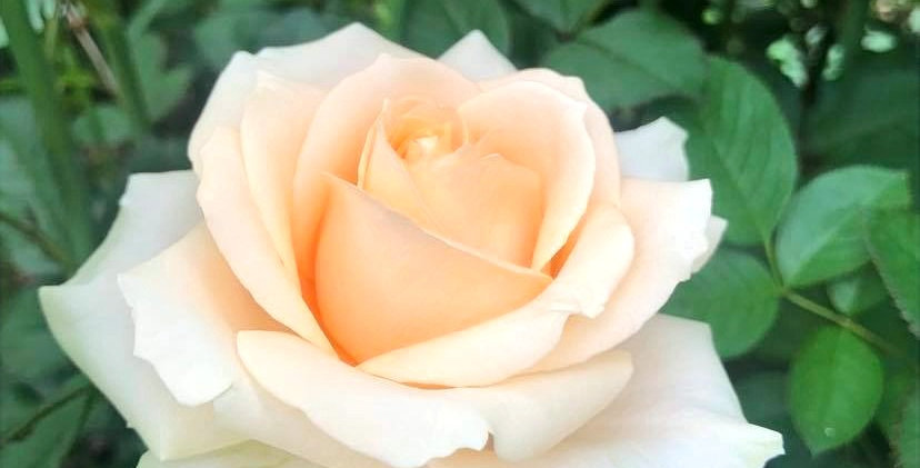 Rose - Peach Avalanche (10 tiges)