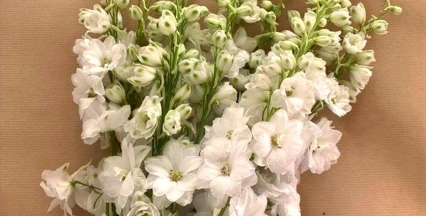 Delphinium - blanc (10 tiges)