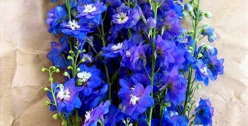 Delphinium - bleu (10 tiges)