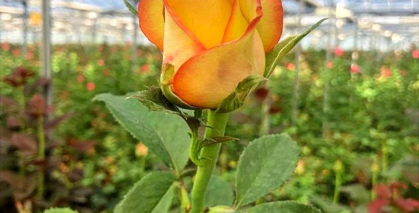 Rose - Brocante (10 tiges)