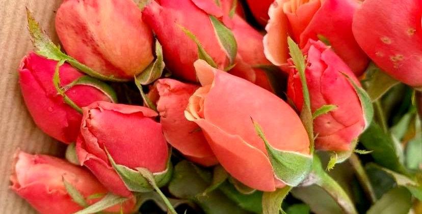 Rose Tango (10 tiges)