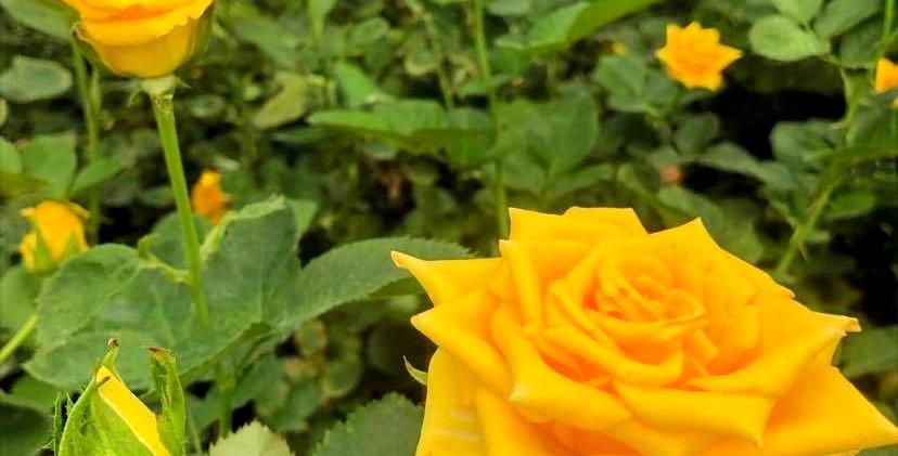 Rose - Dukat (10 tiges)