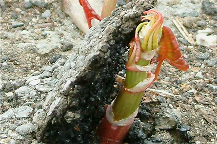 Japanese_Knotweed_-Fallopia_japonica_ro