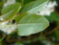 fallopia_baldschuanica_russian_vine_leaf