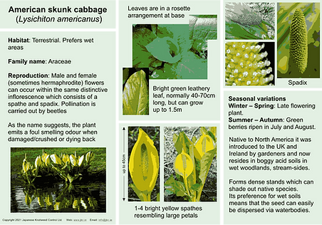 American Skunk-Cabbage V2.png