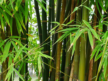 bamboo-tree.jpeg