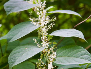 KNOTWEED SURGE Dangerous Japanese Knotweed being spread by illegal dumping in Dublin, experts say