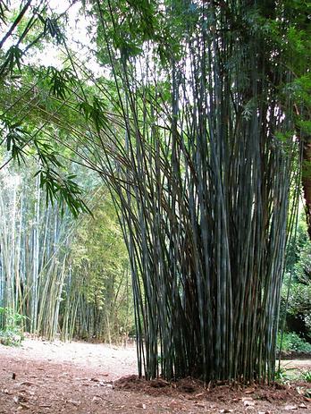 Bambusa tulda 1.png