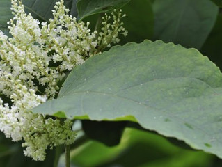 Homeowner sues surveyor for failing to spot Japanese knotweed