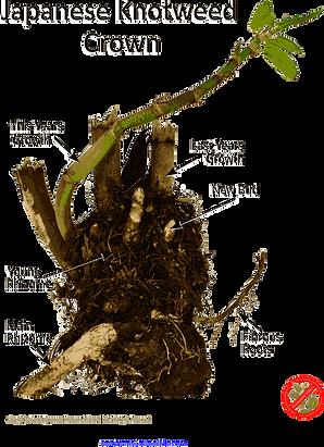 Japanese knotweed Roots & Rhizomes V4.png