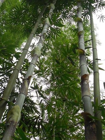 Bambusa sp. Longinternode 1.png