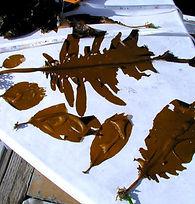 Wakame - Undaria pinnatifida growth stages