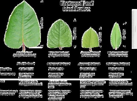 Knotweed Leaf Comparison (blk Txt).p