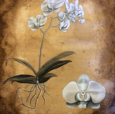 Orchid Botanical Drawing