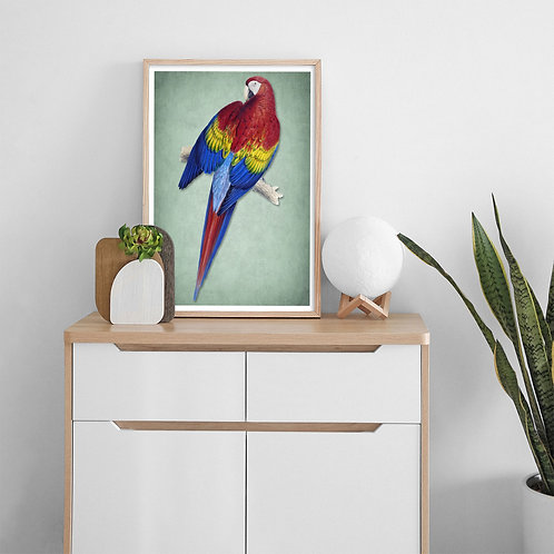 framed vintage scarlet macaw poster by David Richard designs.