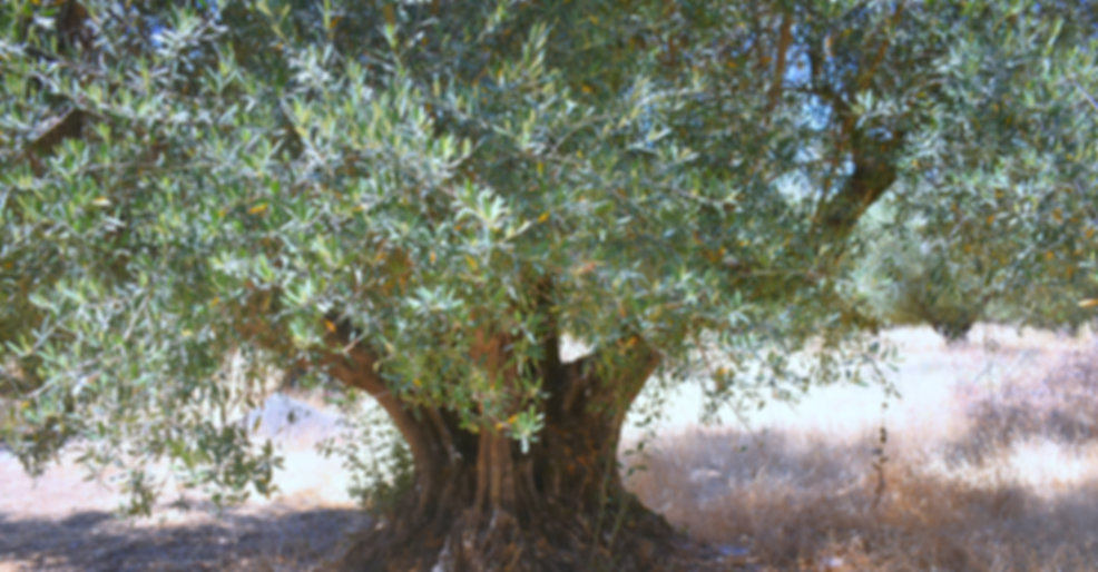 Heritage California Mission Olive Tree in historic grove producing high polyphenol olive oil. We use Mission olive oil exclusively for our Agribeauty organic skincare