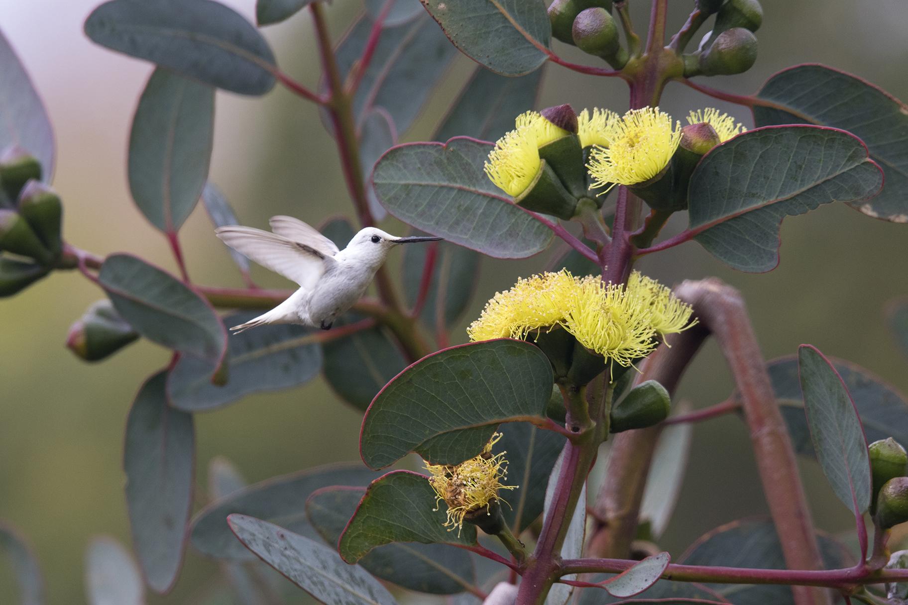 17-15 Leucism Hummingbird