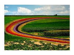 17-68 Field of Blooms