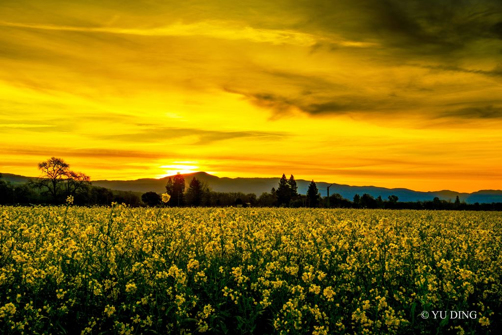 17-16 Mustard Season in Napa Valley