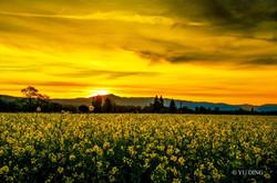 17-16 Mustard Season in Napa Valley