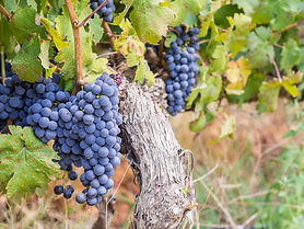 Bunches of rape cabernet sauvignon grape