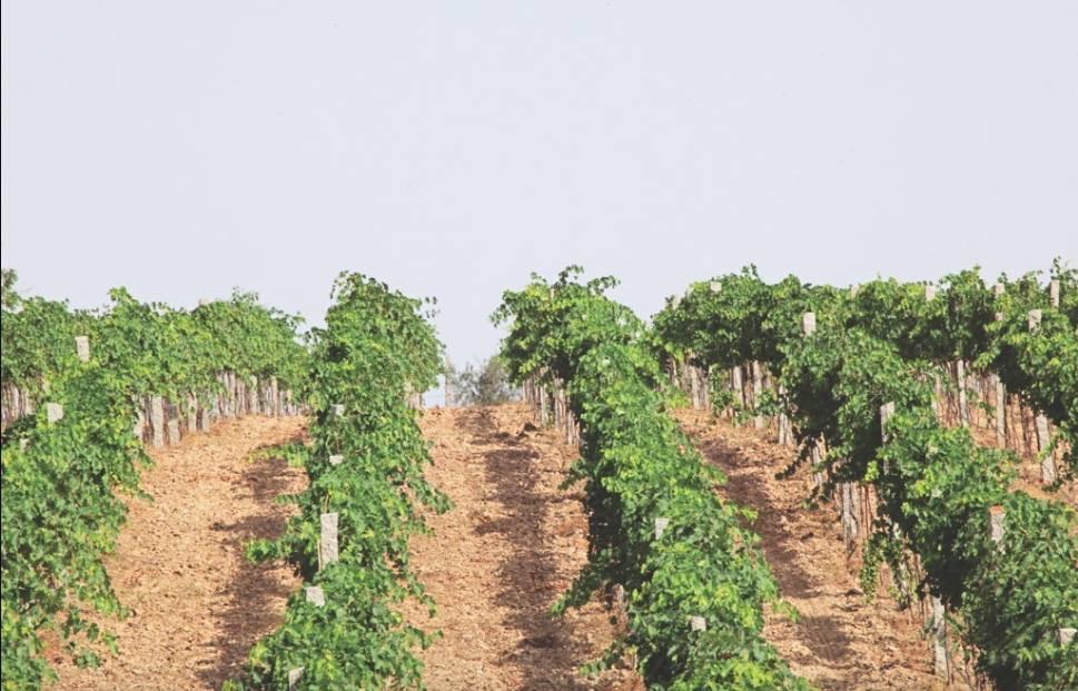 KRSMA Estate vineyard in Hampi