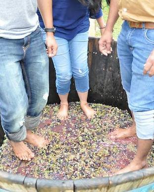 grape-stomping-kinvah-winery.jpg
