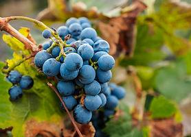 Malbec Grapes, Lujan de Cuyo, Mendoza Pr