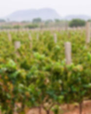 grover-zampa-vineyardblr-bwt.jpg