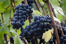 A cluster of ripe pinot noir grapes on t