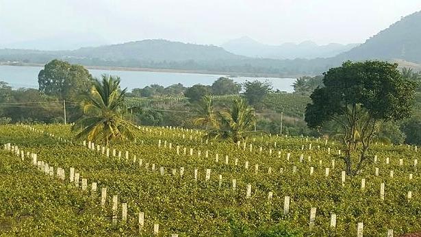 A unique vineyard at Bangalore Soma Vineyards