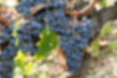 Single bunch of Shiraz grapes on vine.jp