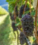 Pinot Grigio grape variety. Pinot Grigio