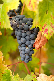 Cluster of Zinfandel Grapes ready for th