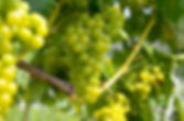 White wine_ Vine with grapes just before