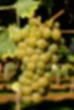 chenin-blanc-white-wine-grape-variety.jp