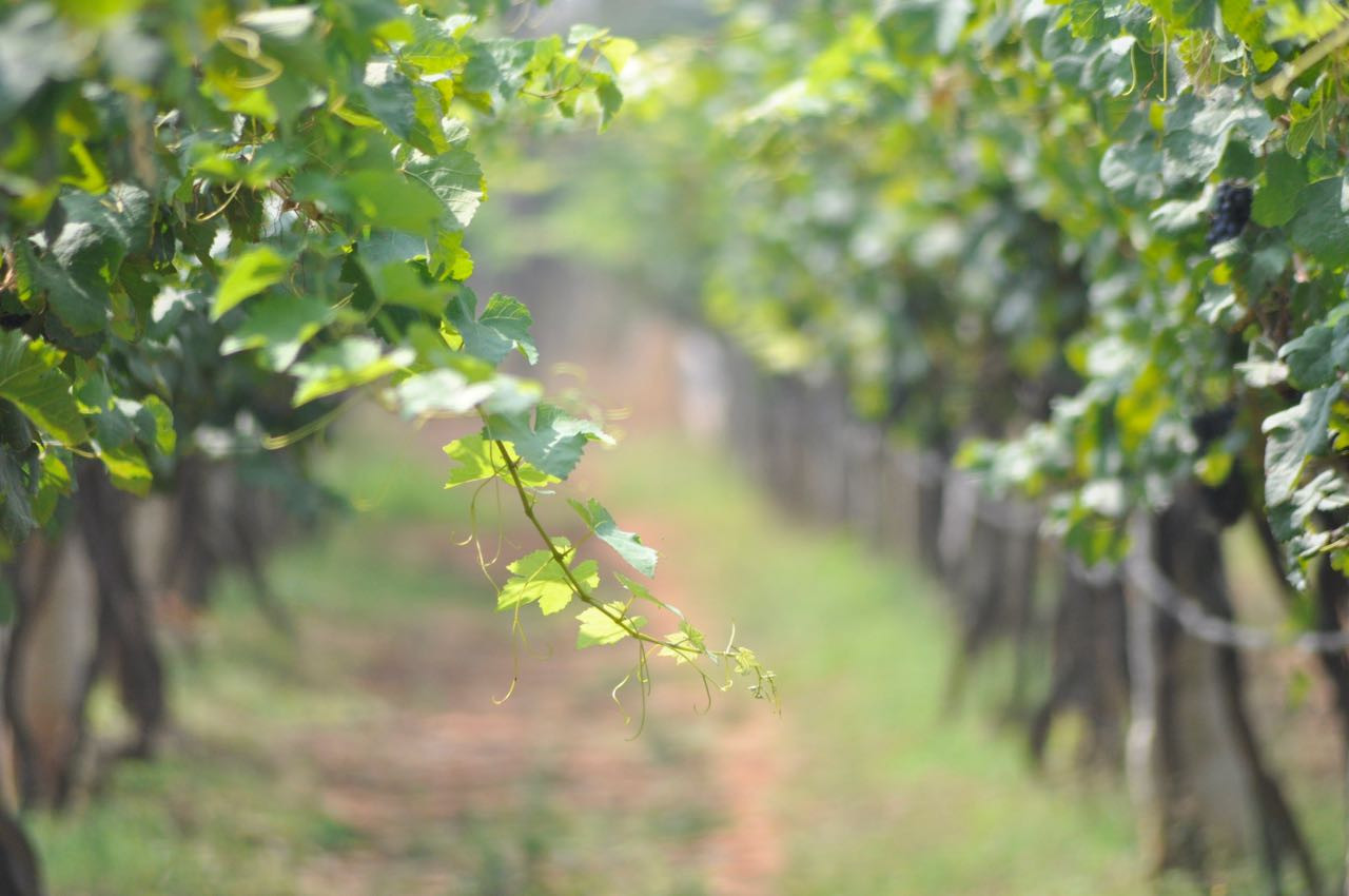 Vineyard at Kadu winery